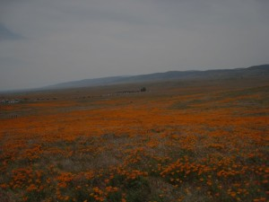 Poppies Galore! Photo by mjb2010