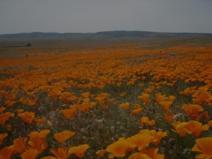 Poppies Mostly! Photo by mjb2010