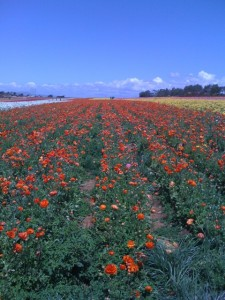 Flower Fields as Far as the Eye Can See! Photo by mjb2011