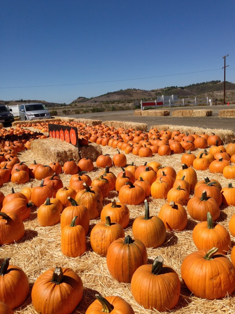 Pumpkins almost as far as the eye can see! Photo by mjb2013